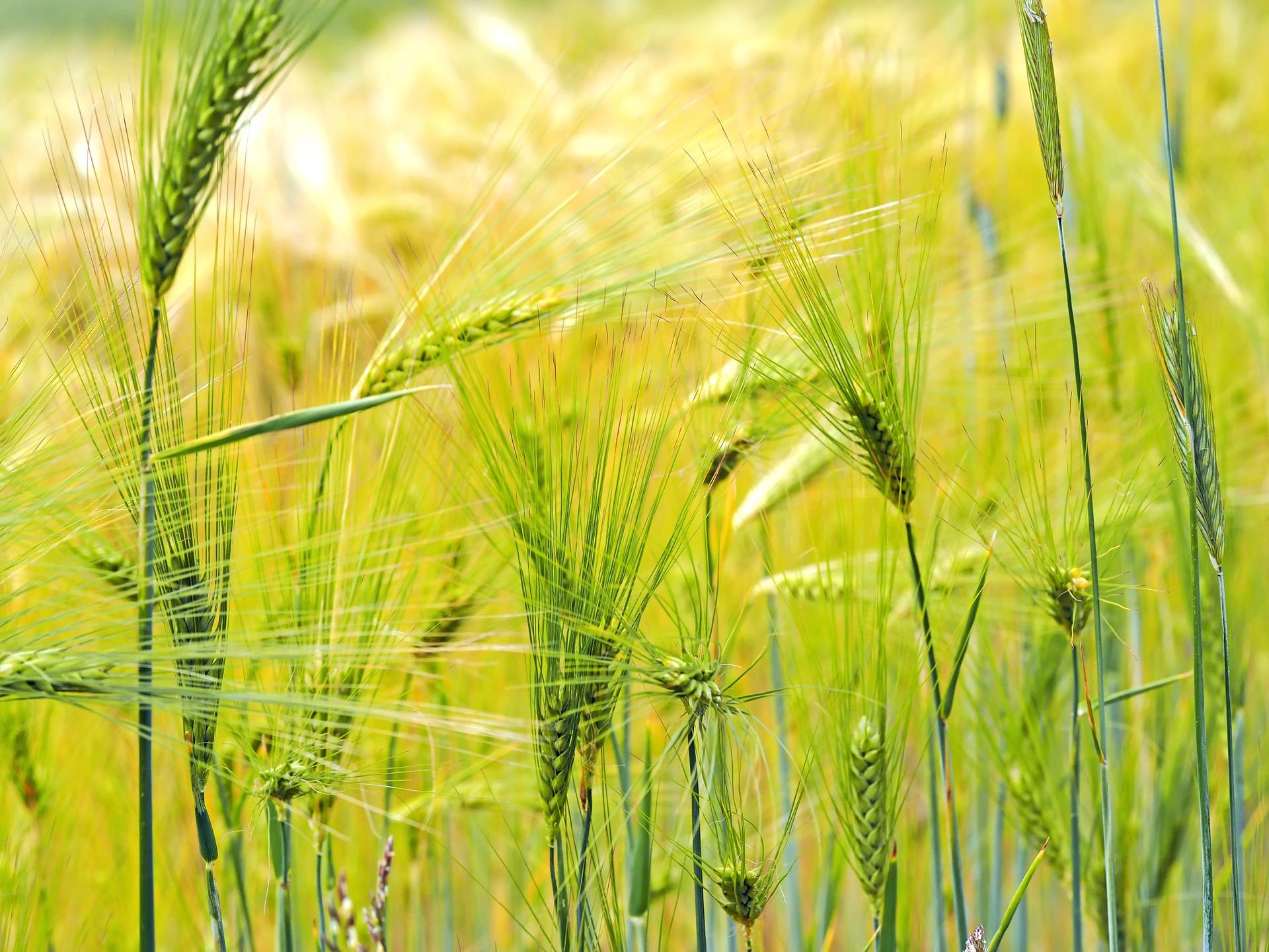 barley-1327766_1920