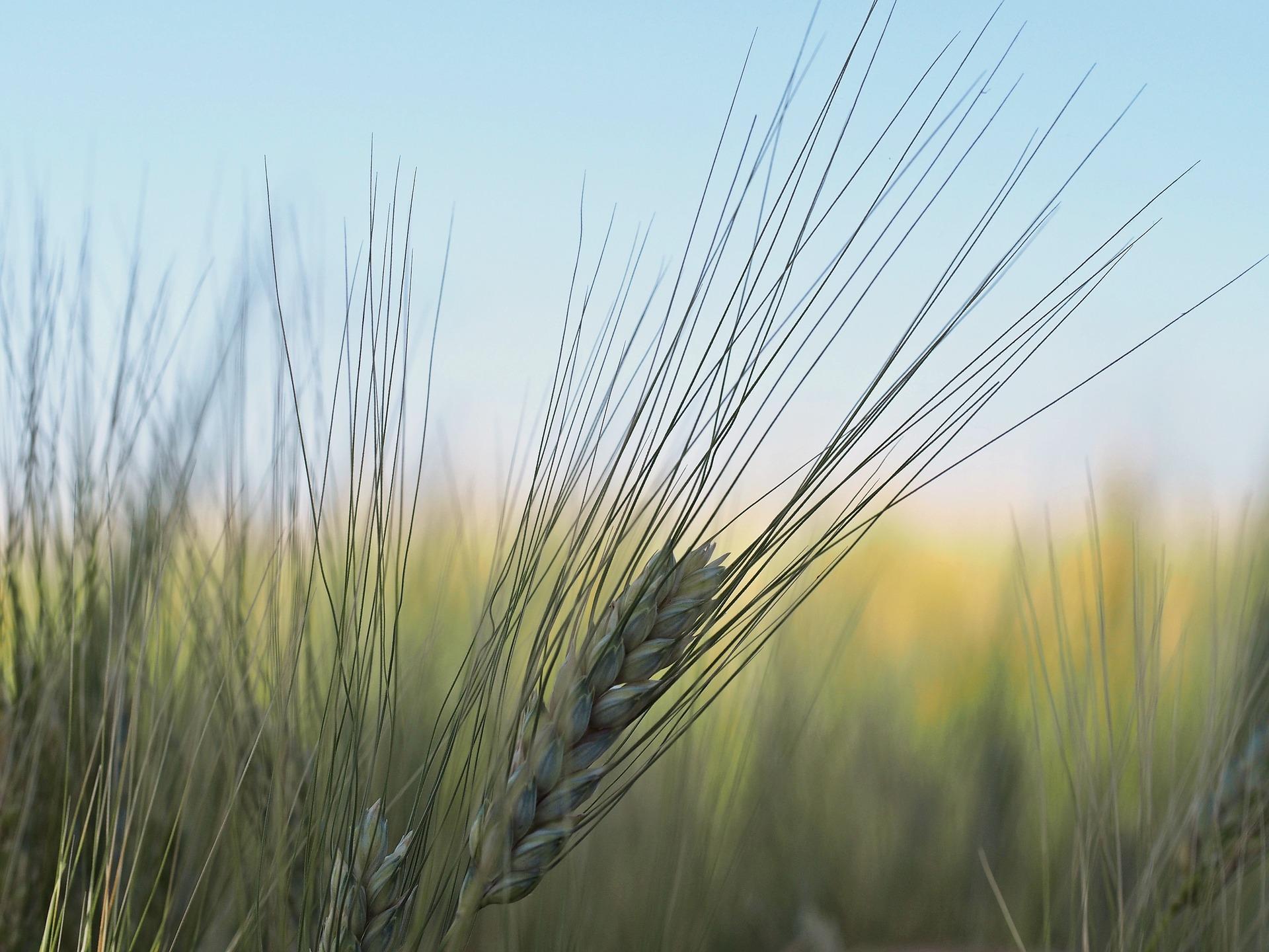 barley-1331726_1920
